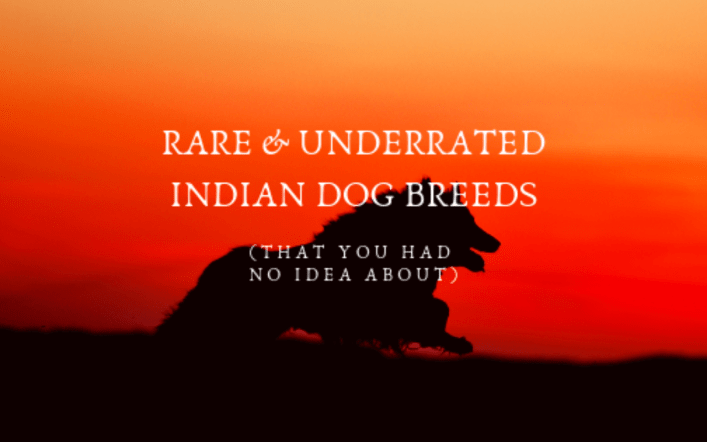 Rare & Underrated Indian Dog Breeds That You Had No Idea About!