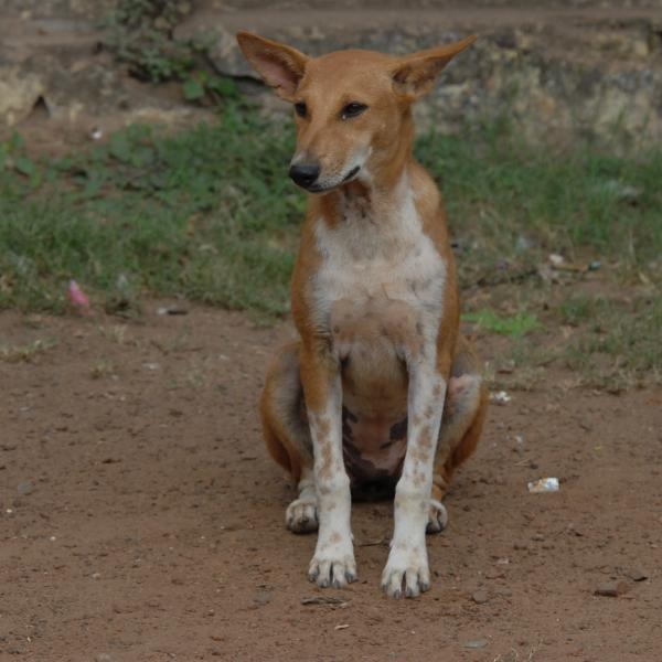 Indian Dog 142