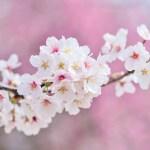 白とピンクの満開の桜