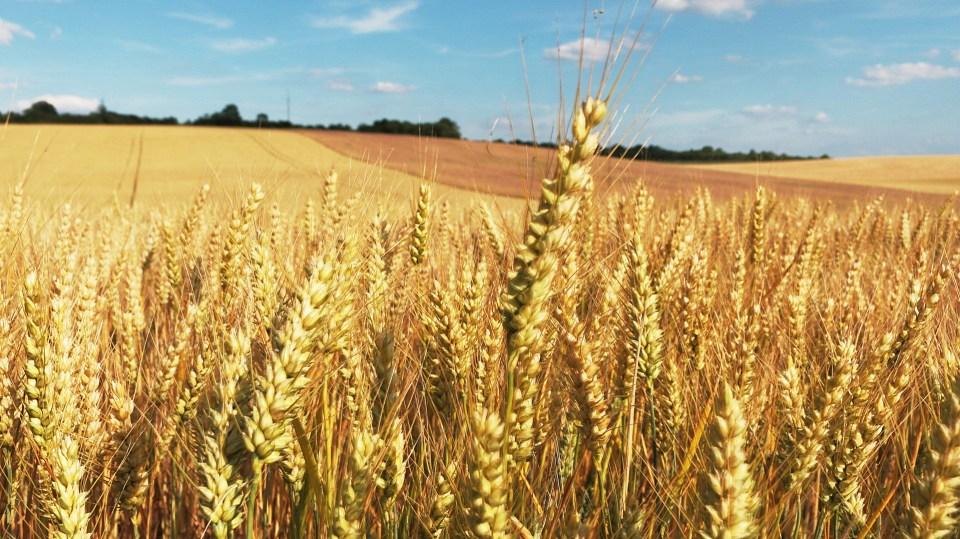 wheat field via pixabay public domain
