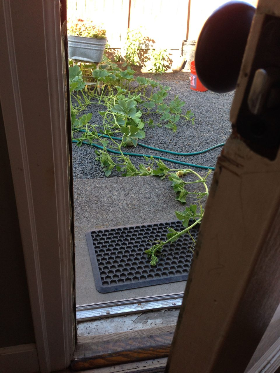 Squash Trying to Break into Our House