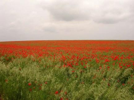 Champ de coquelicots, planté sur un emplacement de la bataille de la Somme