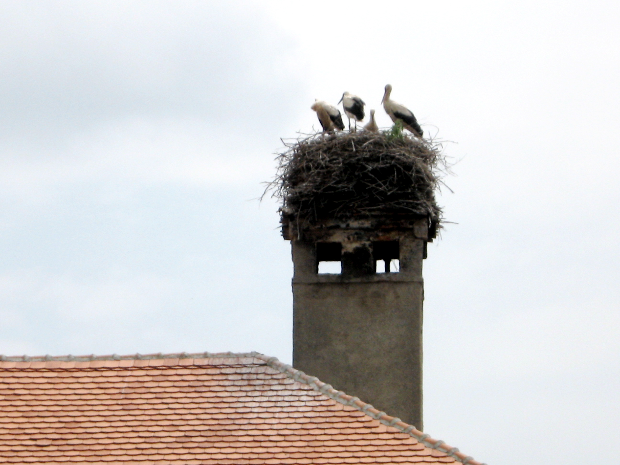 Storks Spend Their Summers in Transylvania