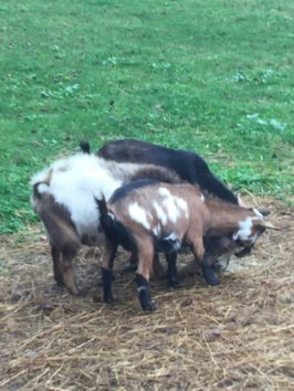 Bambi Registered doe, Brown, white & black w/waddles, outside doe in pic
