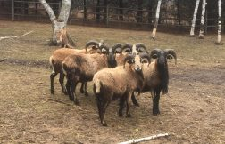 Rams born in 2015