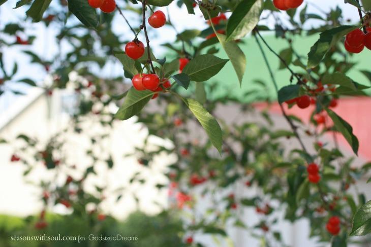 GSD cherry