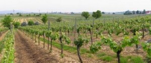 402885-panoramic-picture-of-rows-of-young-grapes-in-wineyards-of-southen-germany-region-rheinland-pfalz