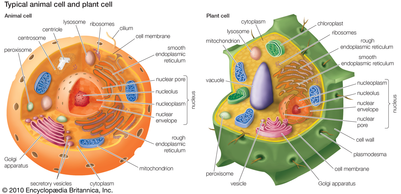 Salient Difference Animal Cell Vs Plant Cell My Biology