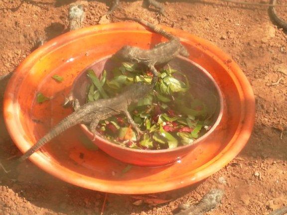Iguana lunch