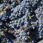 9月のトラズ・オズ・モンテスーブドウの収穫とアーモンド剥き