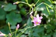 little purple yard flower