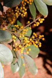 Yellow berries in front yard