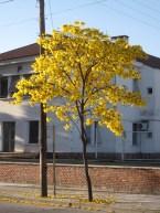 Lapacho tree in Salta, Argentina