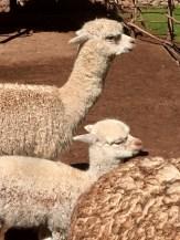 Alpacas from Peru's Sacred Valley