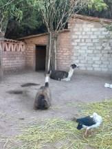 Animals in Peru's Sacred Valley