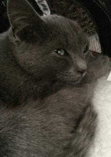 Kiwi the grey kitten
