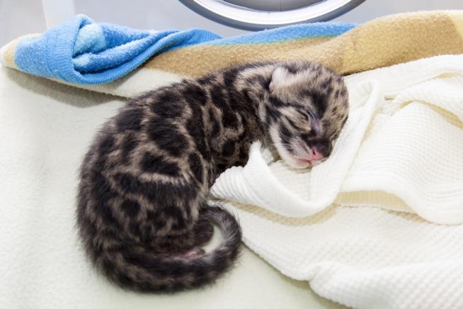 Clouded Leopard Cub, 2 weeks old, at Denver Zoo