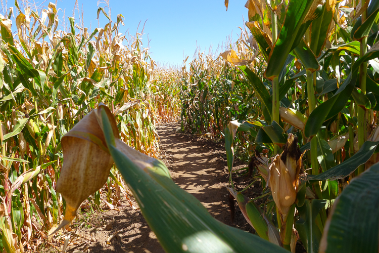 the corn maze goes on forever