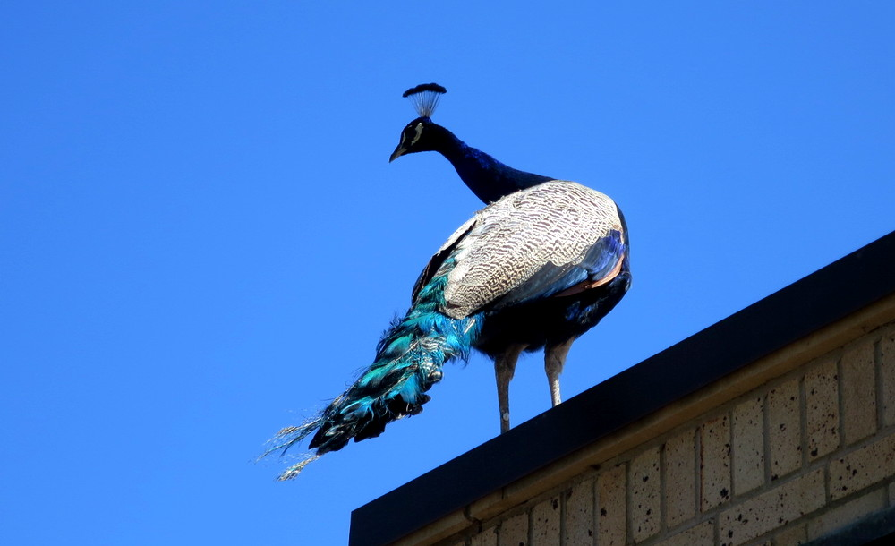 peacock, cheyenne mountain zoo