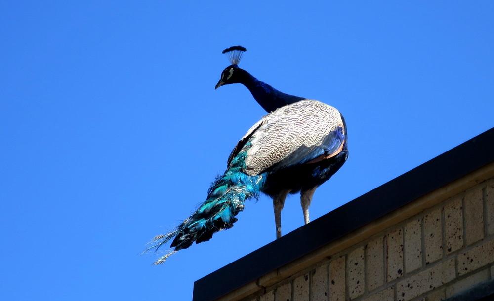 peacock, cheyenne mountain zoo
