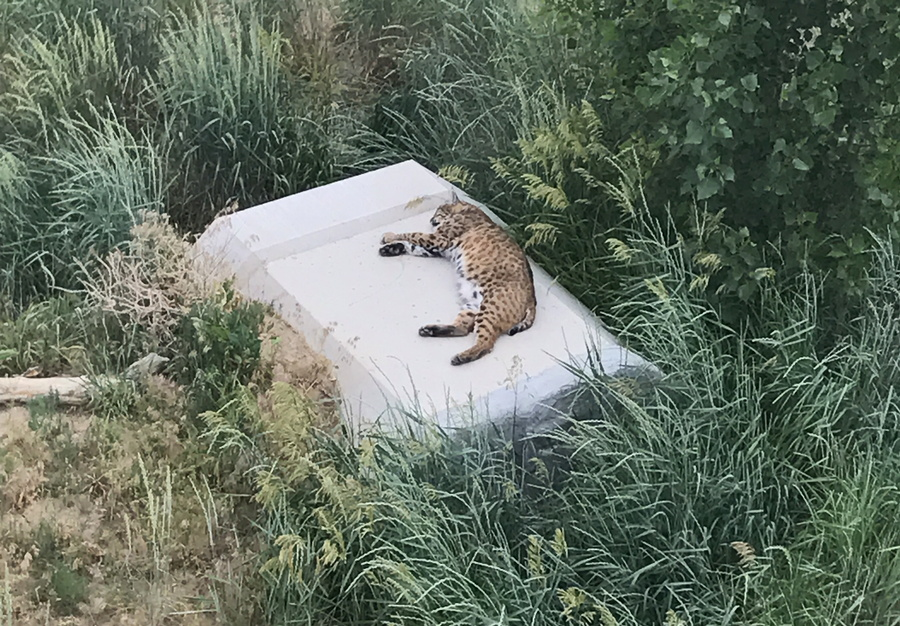 cheetah sleeping on concrete, wild animal sanctuary