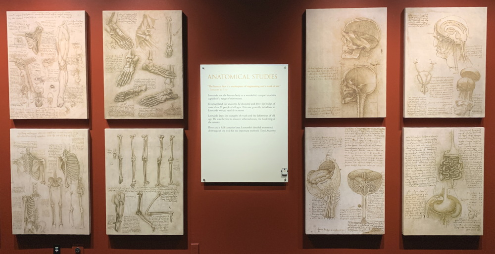 anatomical sketches, leonardo da vinci dmns exhibit