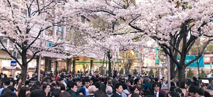 Körsbärsblomningen i Tokyo