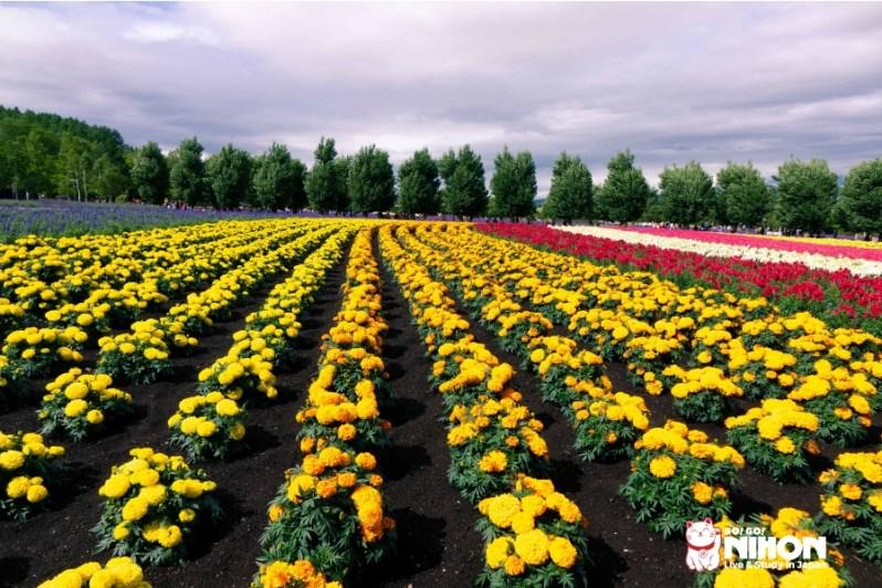 Flower fields in Hokkaido