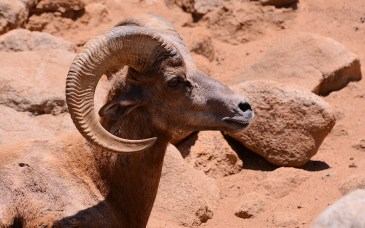 Bighorn sheep, he was closely watching the females.