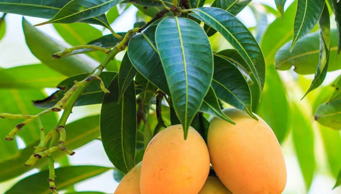 These surprising health benefits of mango leaves will amaze you