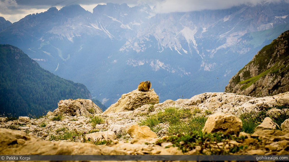 Lone Marmot Observing Us