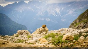 Lone Marmot