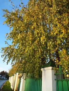 Birch Tree, Golden Autumn