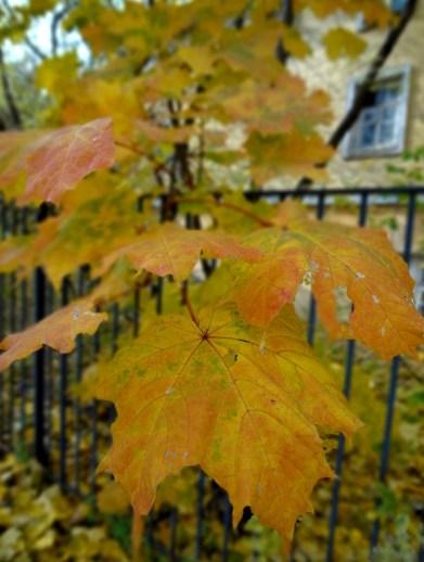 Maple, Golden Autumn