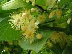 Linden blossoms.