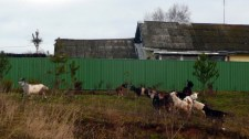 Goats, Russian village.