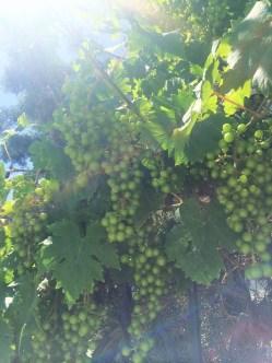 Grape vines in Crimea