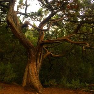 Famous Crimean Pine in Novy Svet