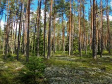 Estonian Forest 1