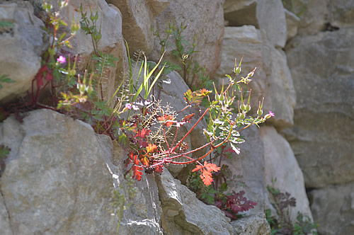 Geranium in the wall