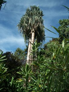 Young padanus tree, finding its space on earth - Mumun Village, Kosipe