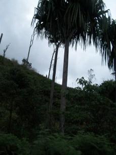 A lone pandanus Tree along the Kospe- Woitape rioad