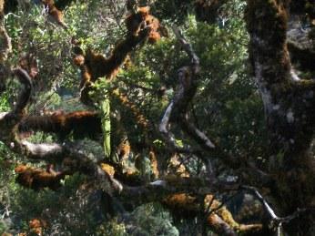 Prestine Vegetation at the Boarder of Kosipe and Sopu - Goilala (60)