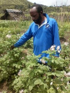 Michael Atuai inspects flowering english potatoes- Kosipe