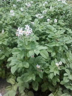 Flowering English Potatoes - Kosipe