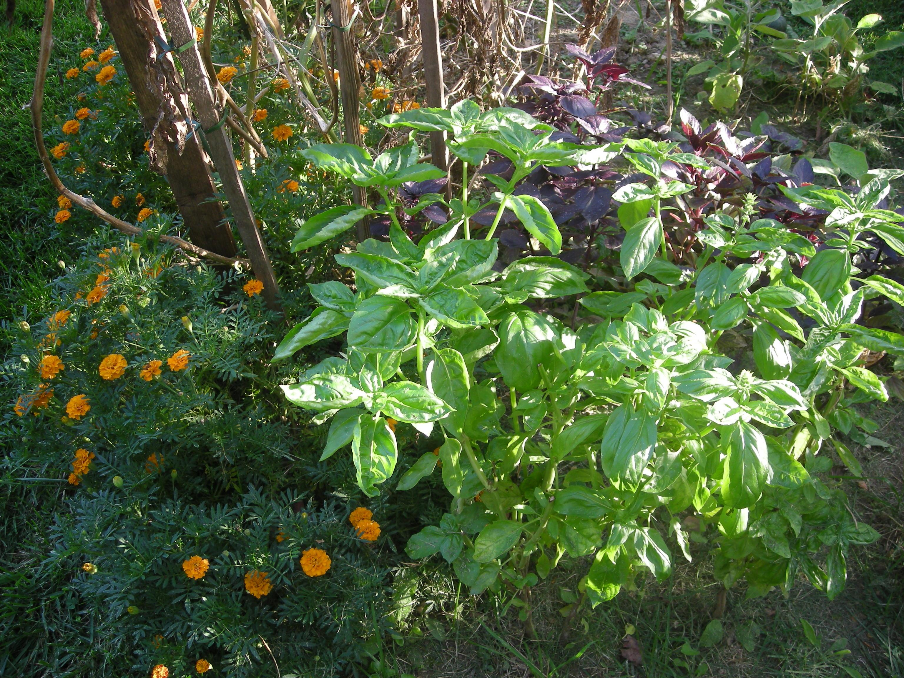 The rewards of yard sharing. Fresh basil!