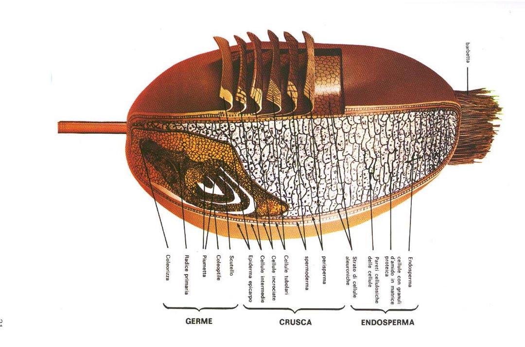struttura chicco di grano