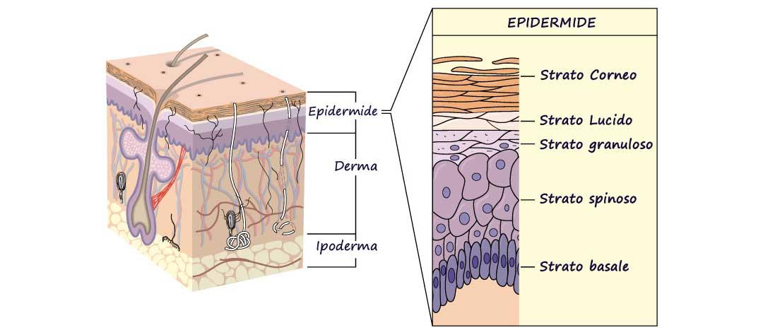 pelle epidermide