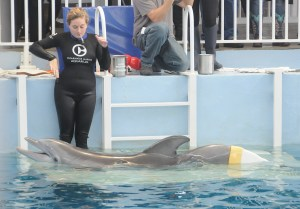 "Winter, the plucky dolphin and star of ""Dolphin Tale"" with her prosthetic tail at the Clearwater Marine Aquarium, one of the major attractions near the Don Cesar © 2016 Karen Rubin/news-photos-features.com"