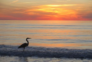 A Great Blue Heron appreciating the sunset on Don Cesar's beach © 2016 Karen Rubin/news-photos-features.com
